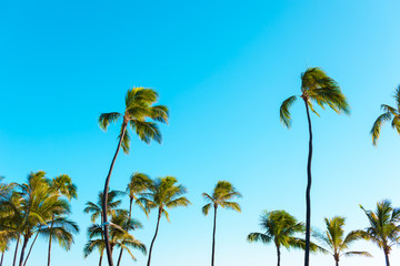 Tropical palm trees.