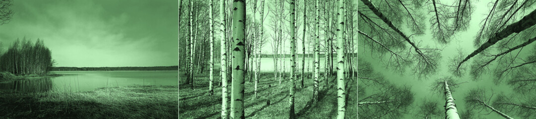 Birch trees in Finnish forest