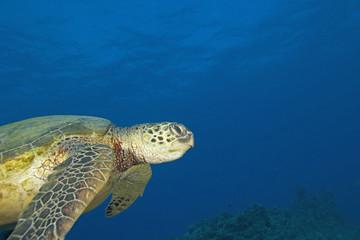 Sea turtle swimming at Hawaii coral reef
