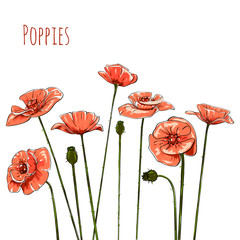 Line-art Poppies On White. Vector illustration