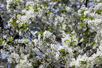 cherry blossoms , spring