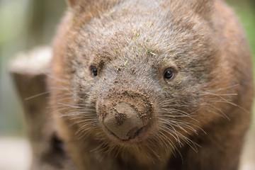 Closeup about an Australian common wombat