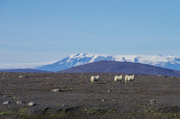 sheep herd on the  highlands of the glacier Vatnajökull background, Iceland