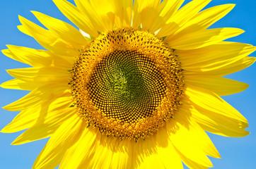Sunflower by CU.