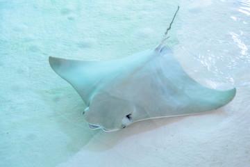 Atlantic stingray or Dasyatis sabina is a species of stingray in