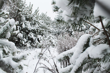 through the winter forest