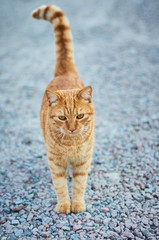 Beautiful ginger cat outdoors/Thoughtful cat standing on the pavement