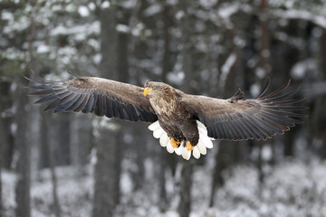 adult white-tailed eagle landing