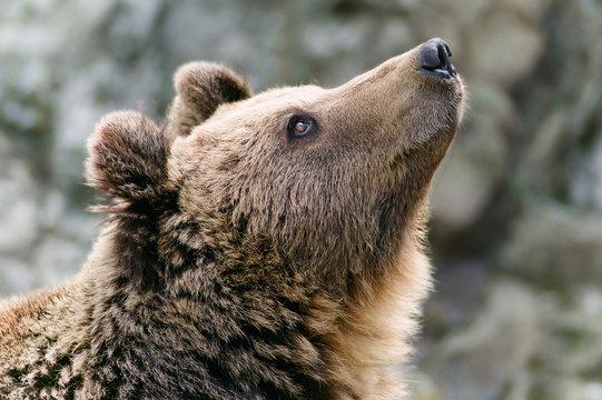 Brown bear's head looking up