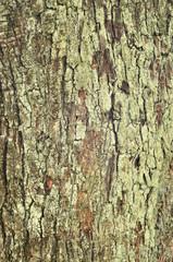 albero di olivo, close up, corteccia