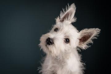 Westie Puppy Portrait
