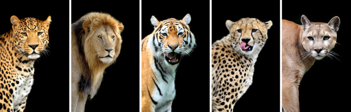 Five big wild cats