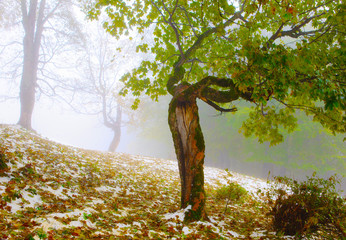 First snow in autumn sycamore in Carpathians