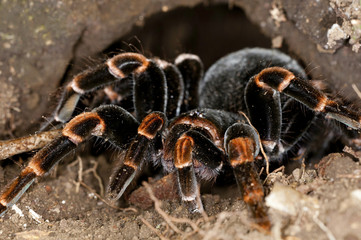close-up image of a tarantula in the forests of Costa Rica