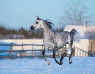 Fototapete - Gray elegant stallion of purebred Arabian breed