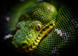 Python Looking.