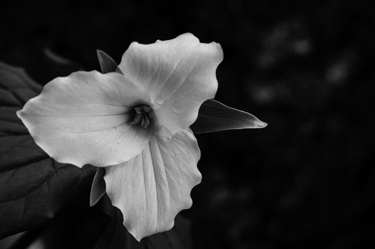 Black and white trillium flower with a film filter