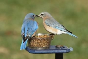 Fotoväggar - Pair of Bluebirds on a Feeder