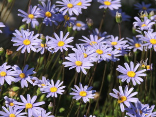 purple daisies close up