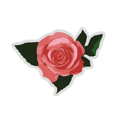 Picture a rose flower on white background