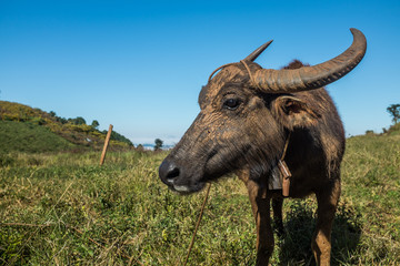 Karen Hill tribe water buffalo coated in dried mud
