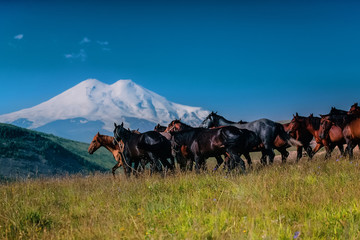 A herd of wild horses in the vicinity of the volcano Elbrus