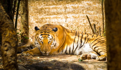 Tiger resting in a national park in India. These national treasures are now being protected, but due to urban growth they will never be able to roam India as they used to.