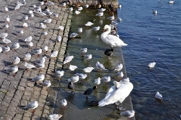 Viele Möwen und zwei Schwäne am Zürichsee, in der Stadt Zürich