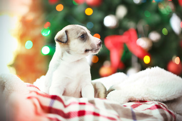 Little cute  puppy on Christmas background