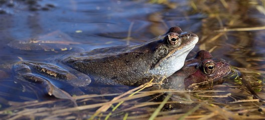 he common frog (Rana temporaria) mating, also known as the European common frog, European common brown frog, or European grass frog