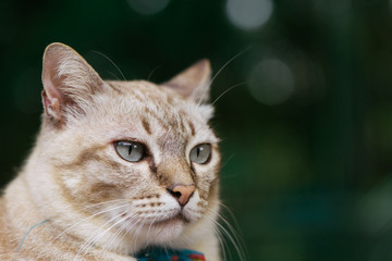 Cat in the Green Grass in Summer. Beautiful brown Cat with grey Eyes