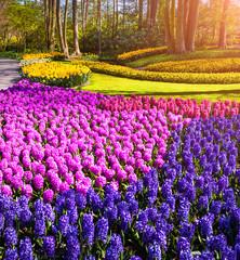 Blooming of hyacinth flowers in the Keukenhof Gardens