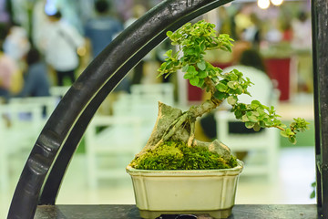 Small tree, cultivated with thai technique of bonsai.