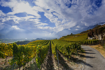 Weinreben im Schweizer Rhonetal, Wallis