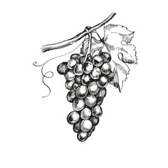 Sketch bunches of grapes. Vector illustration.