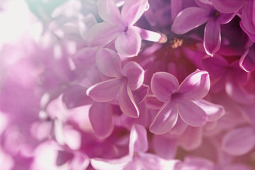 Flowers of purple blooming lilacs