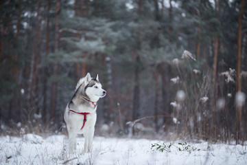 Siberian Husky in winter forest.