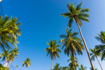 Coconut palms against blue sky background