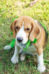Beagle dog present