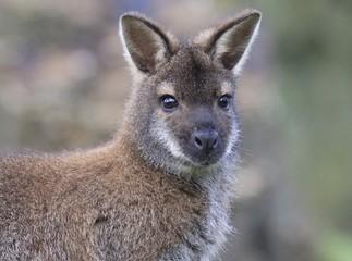 Wallaby Closeup