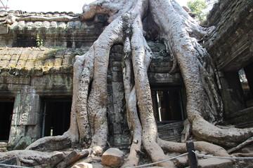 Ta Prohm / Angkor Wat in Kambodscha