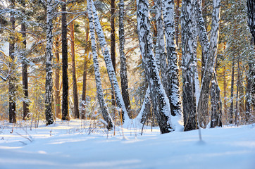 Winter forest in the sunset