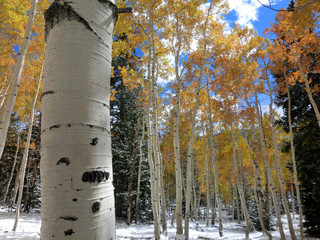 Birch tree with autumn leaves in the snow