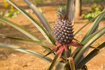 pineapple fruit plantation field, farm land, laos