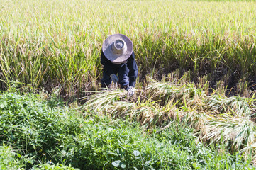thai rice farmer harvesting