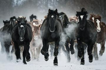 Obraz Grupa koni biegających na śnieżnym polu - fototapety do salonu
