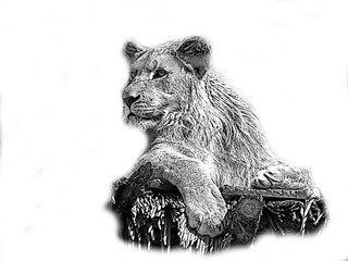 Lion pencil drawn