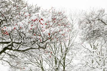 Bäume im Schnee mit orangen Beeren im Fokus