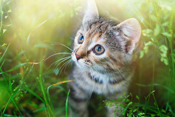 Kitten playing in the green grass at summer. Cute Tabby Cat in Summer Sun Lights, Pets care.