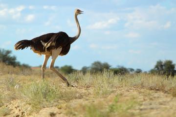 Struś afrykański (Struthio camelus) na Pustyni Kalahari